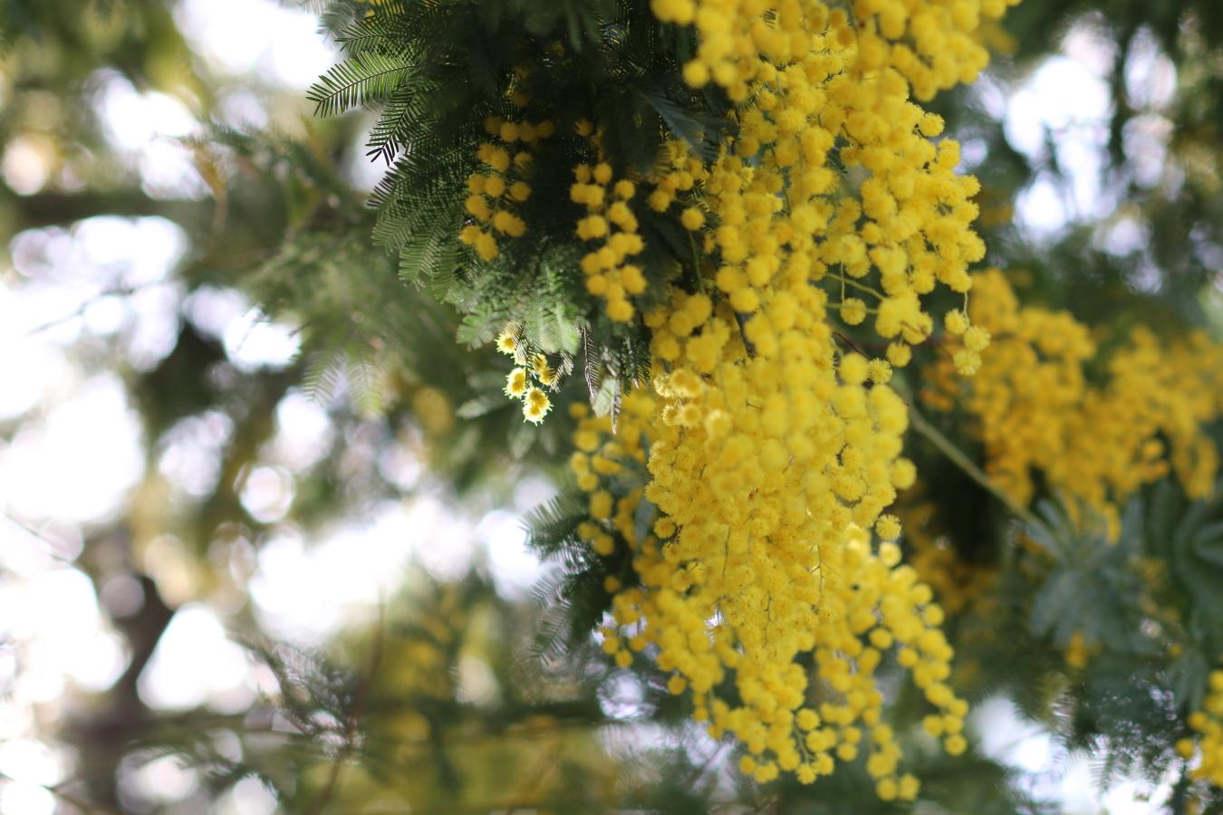 il tempo delle mimose le storie di stellina